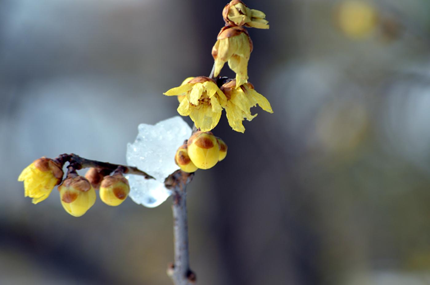 法拉盛植物园雪景_图1-6