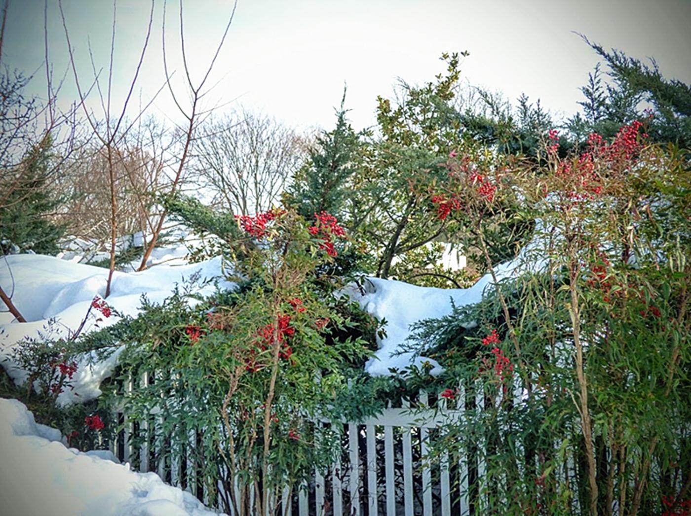 法拉盛植物园雪景_图1-15