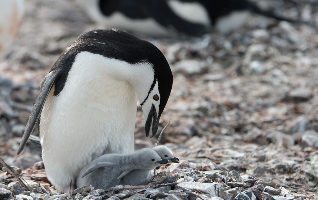 世界这么大 我偏爱南极【企鹅篇】_图1-1