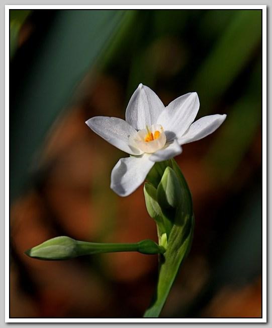 春节植物水仙花_图1-1