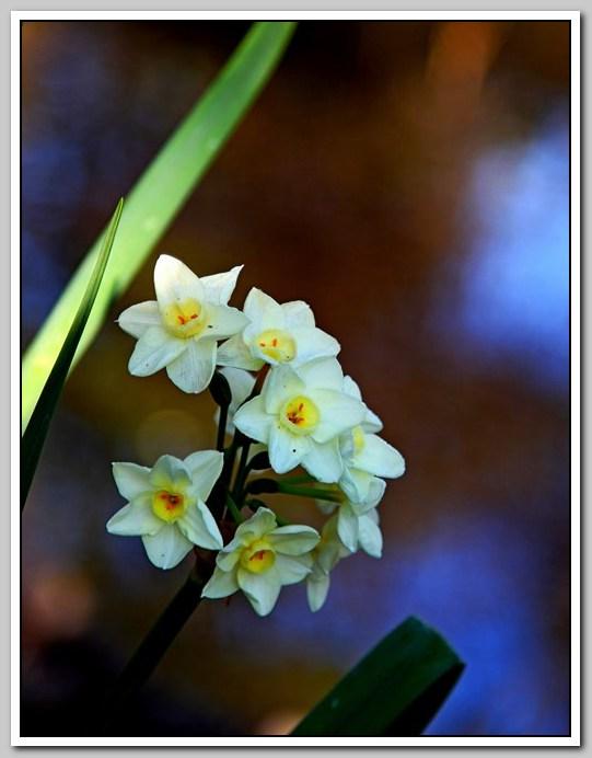 春节植物水仙花_图1-2