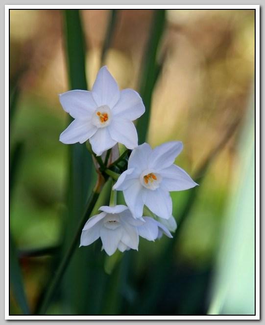 春节植物水仙花_图1-3