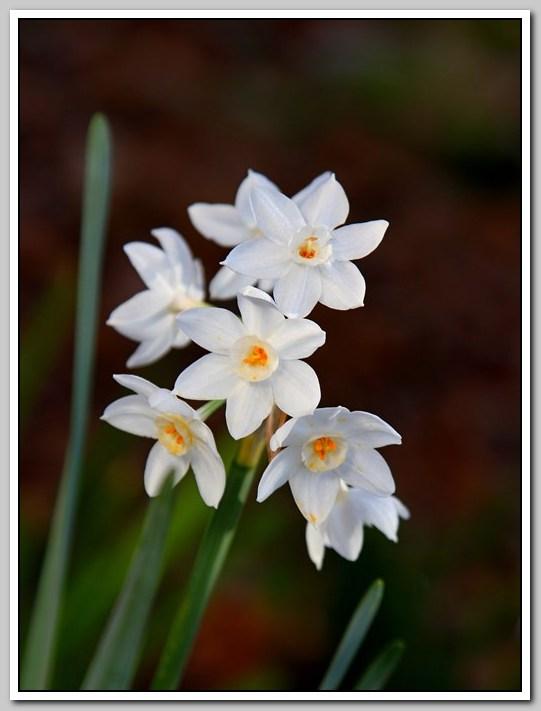 春节植物水仙花_图1-4