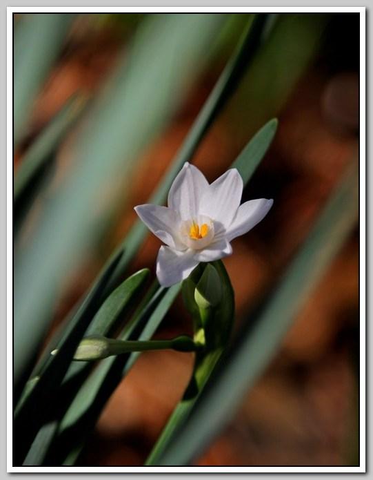 春节植物水仙花_图1-5