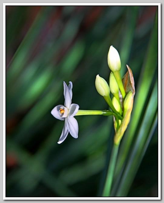 春节植物水仙花_图1-6
