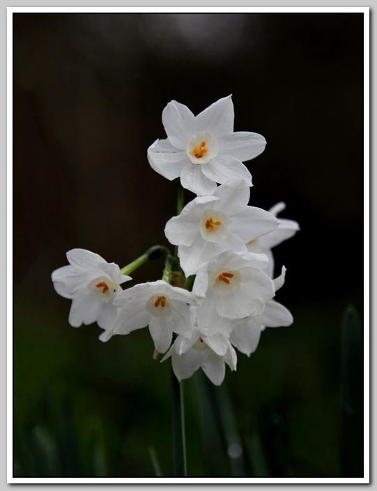 春节植物水仙花_图1-7