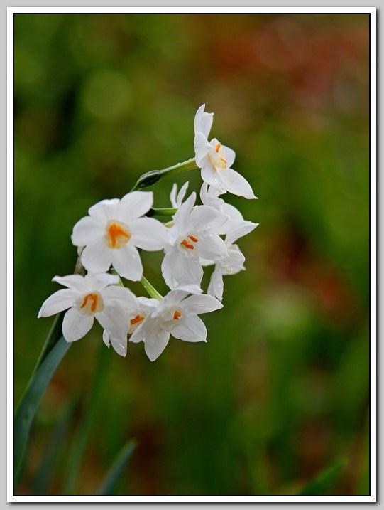 春节植物水仙花_图1-8