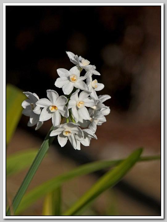 春节植物水仙花_图1-9