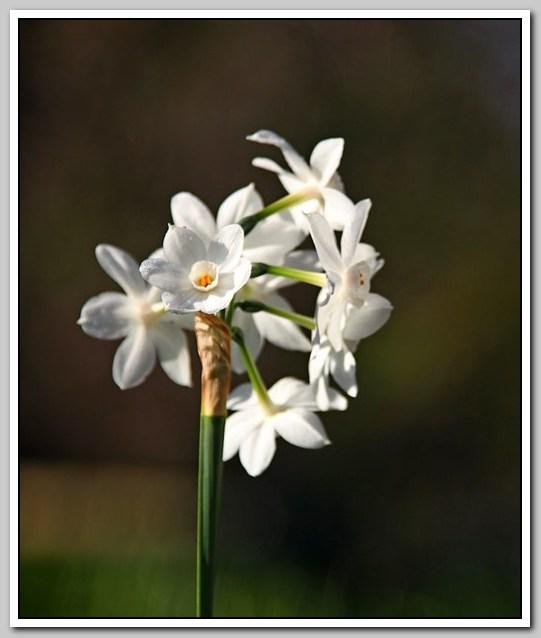春节植物水仙花_图1-10