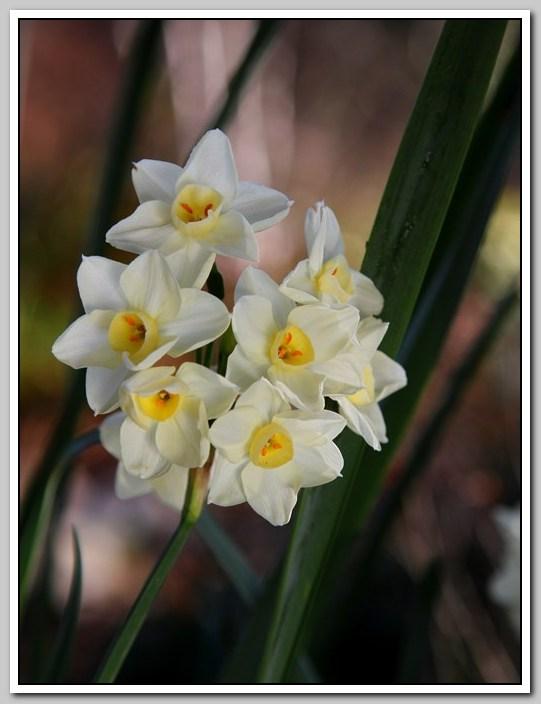 春节植物水仙花_图1-11