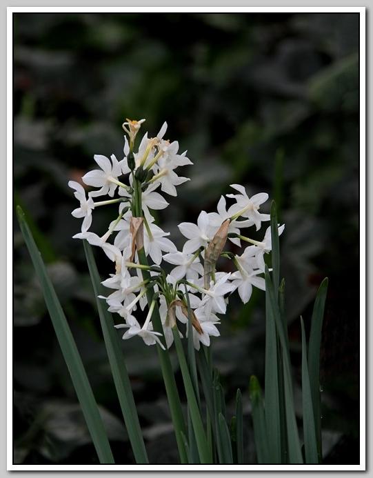 春节植物水仙花_图1-13