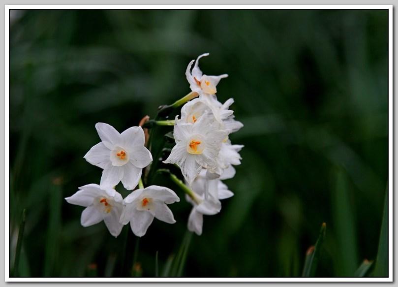 春节植物水仙花_图1-16