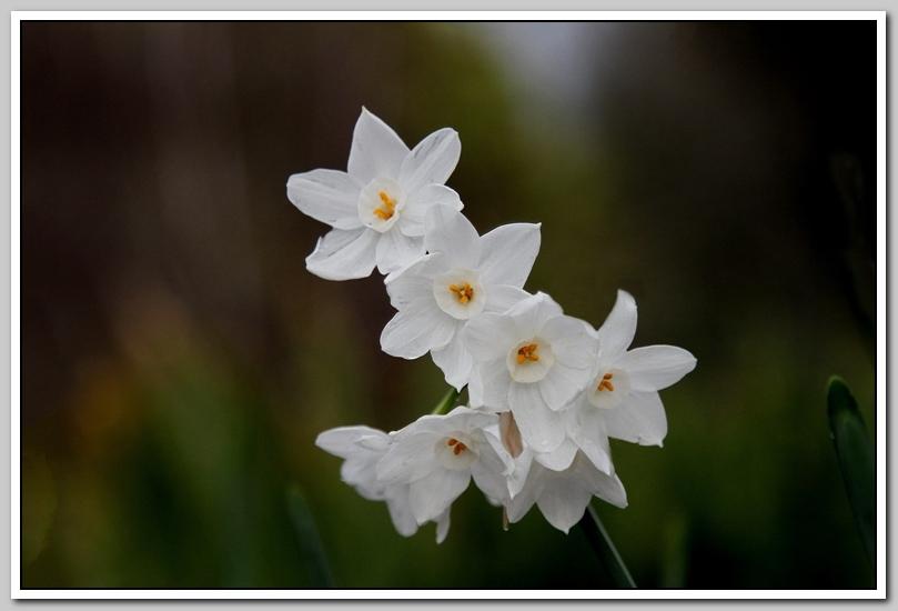 春节植物水仙花_图1-17