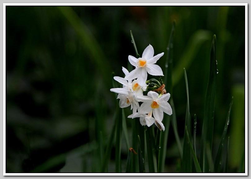 春节植物水仙花_图1-18
