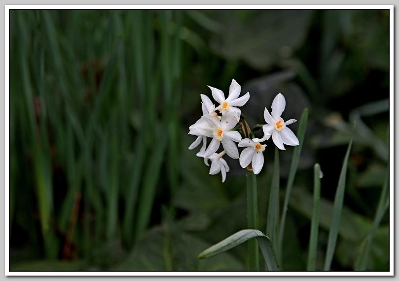 春节植物水仙花_图1-19