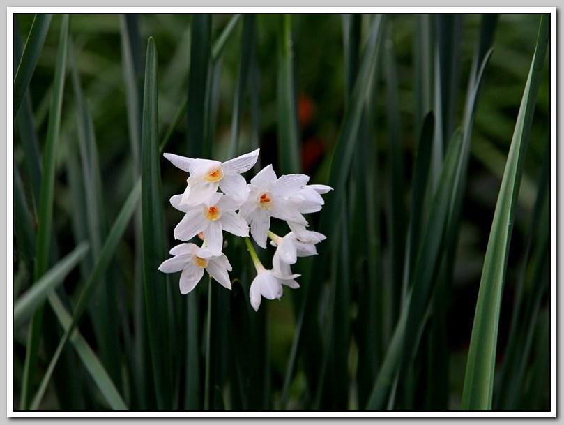 春节植物水仙花_图1-20