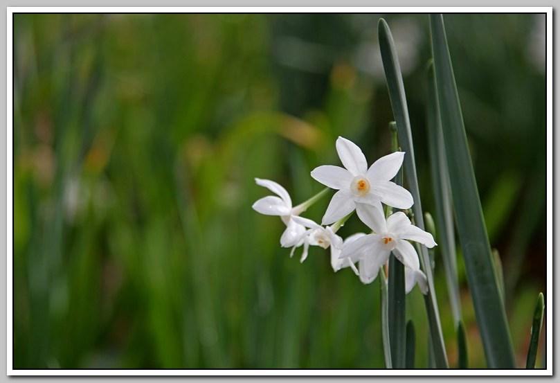 春节植物水仙花_图1-21