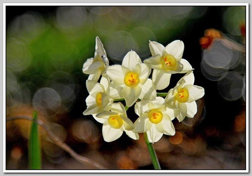 春节植物水仙花_图1-22