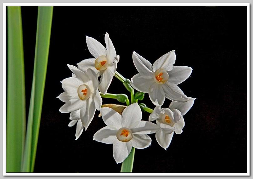 春节植物水仙花_图1-23