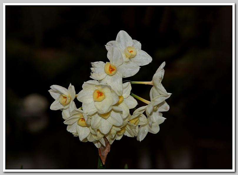 春节植物水仙花_图1-24