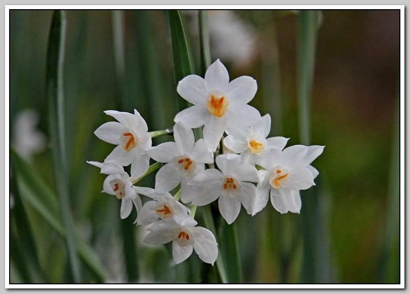 春节植物水仙花_图1-25