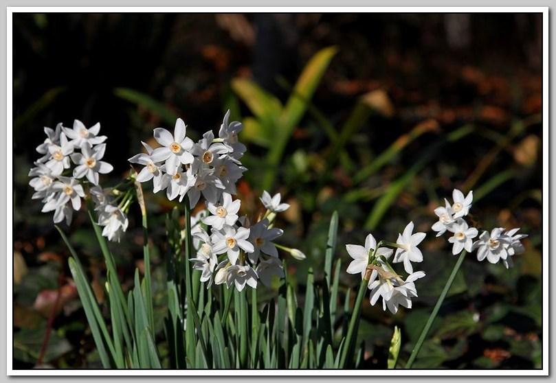 春节植物水仙花_图1-26