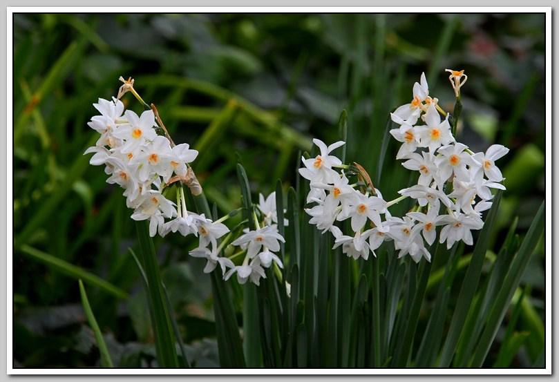 春节植物水仙花_图1-27