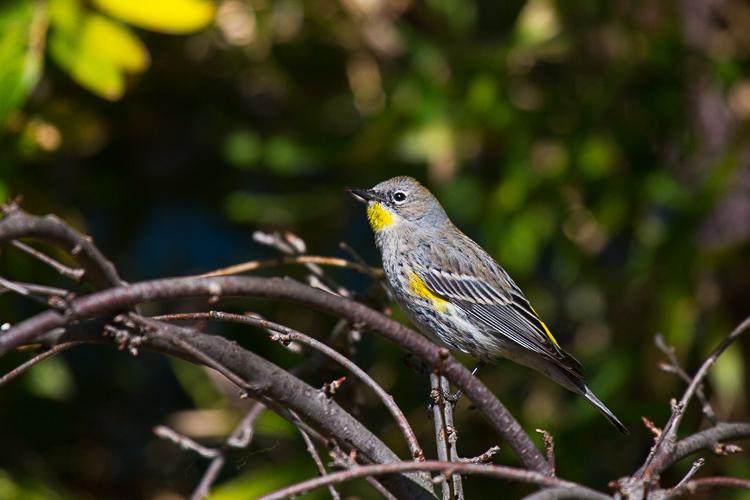一只不知名的漂亮小鸟 ( 求鸟