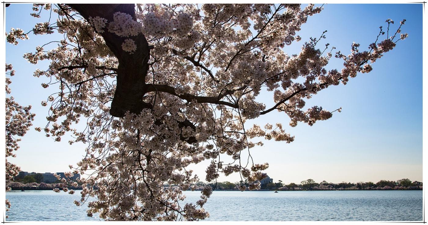 华盛顿樱花節_图1-9