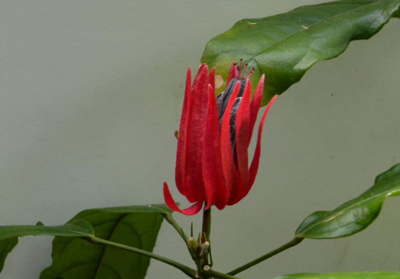 多花孔雀葵