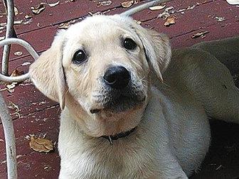 我家的毛小孩--拉布拉多水猎犬George_图1-1