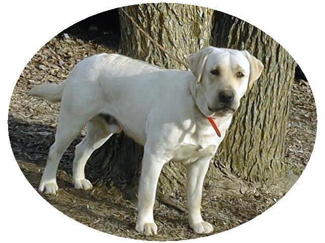 我家的毛小孩--拉布拉多水猎犬George_图1-2