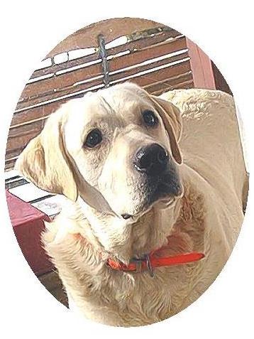 我家的毛小孩--拉布拉多水猎犬George_图1-3