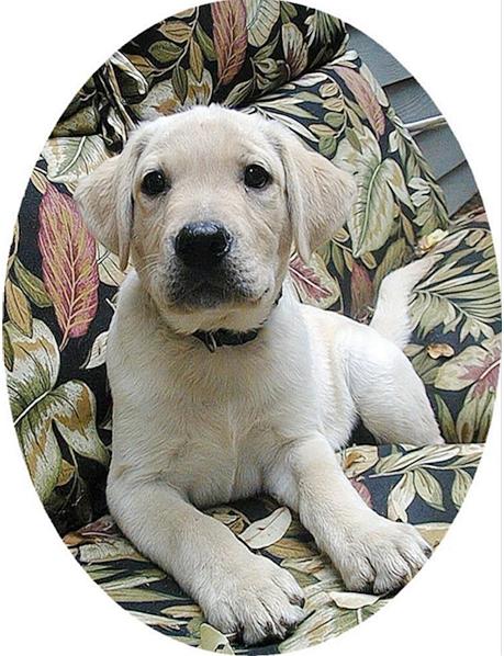 我家的毛小孩--拉布拉多水猎犬George_图1-4