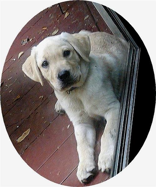 我家的毛小孩--拉布拉多水猎犬George_图1-5