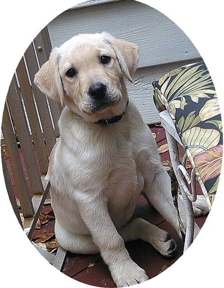 我家的毛小孩--拉布拉多水猎犬George_图1-6