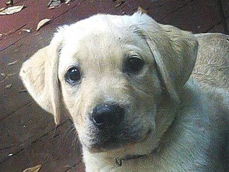我家的毛小孩--拉布拉多水猎犬George_图1-7