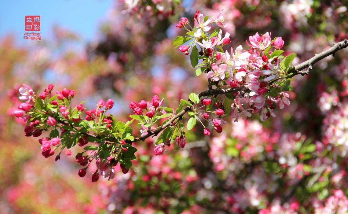 【攝影蟲】春到紐約中央公園_图1-8