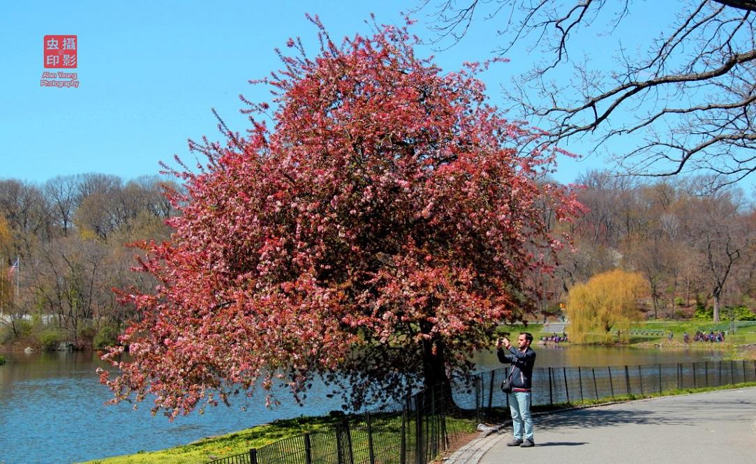 【攝影蟲】春到紐約中央公園_图1-11