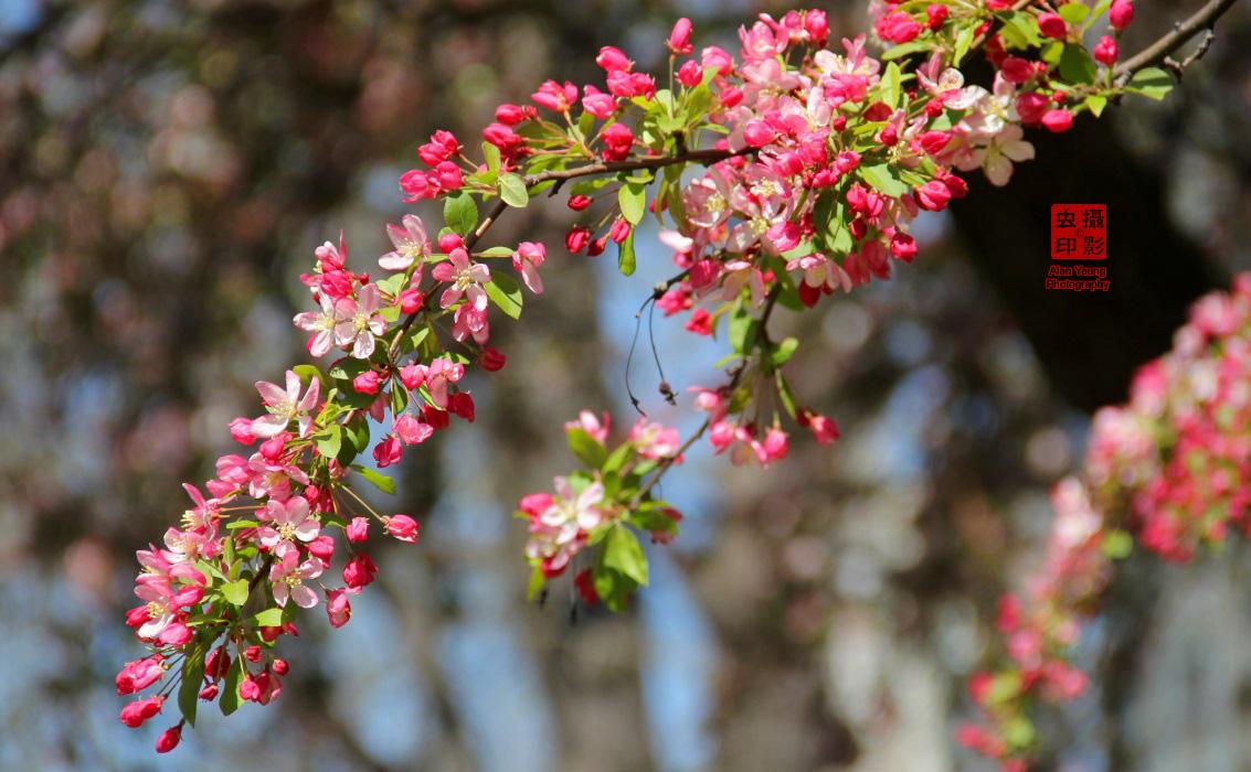 【攝影蟲】春到紐約中央公園_图1-9