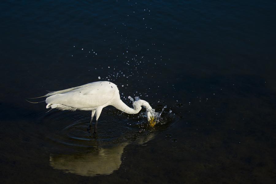 白鹭捕食【摄影】 - 纽约文摘 - 纽约文摘