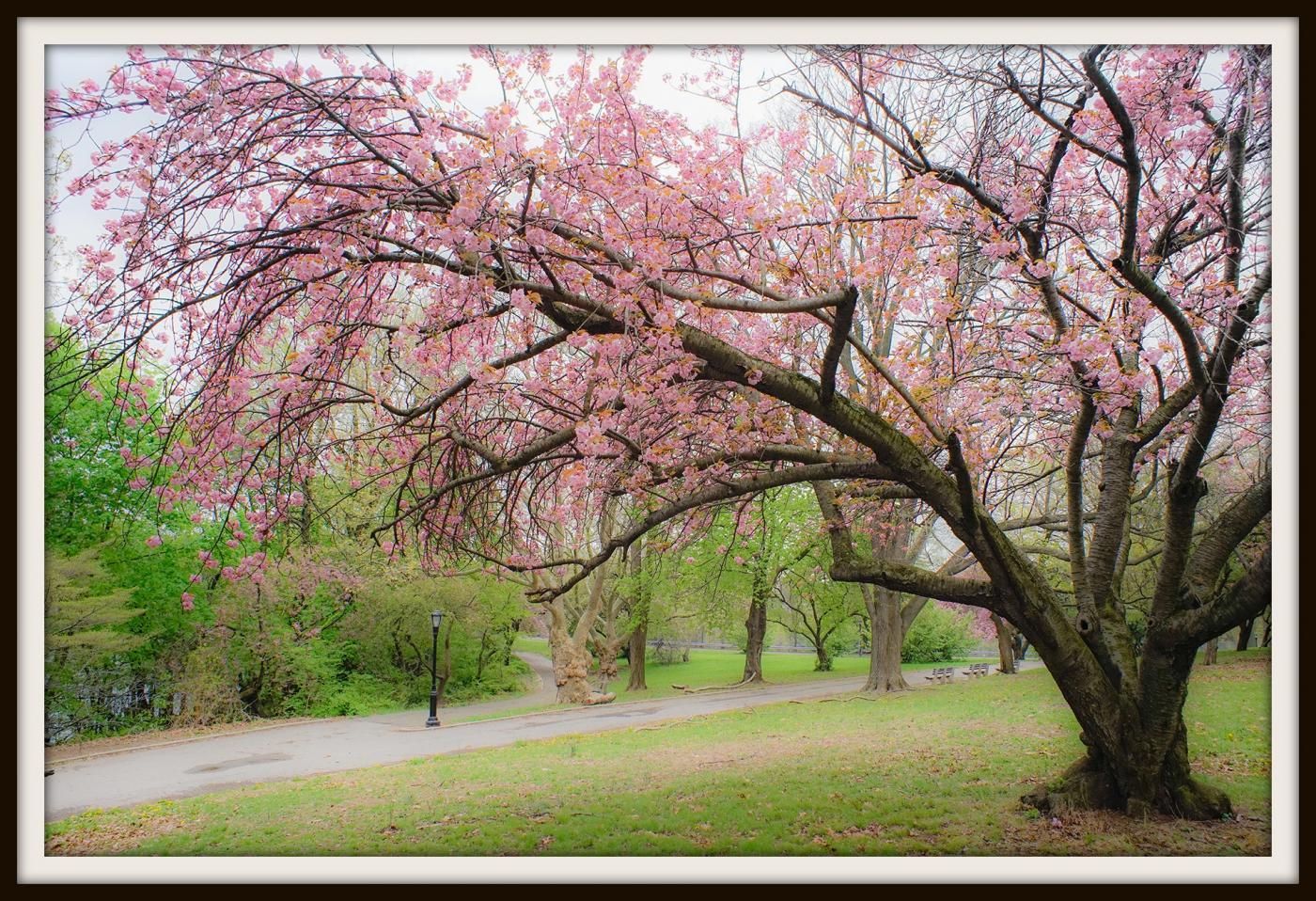 樱花盛开_图1-8