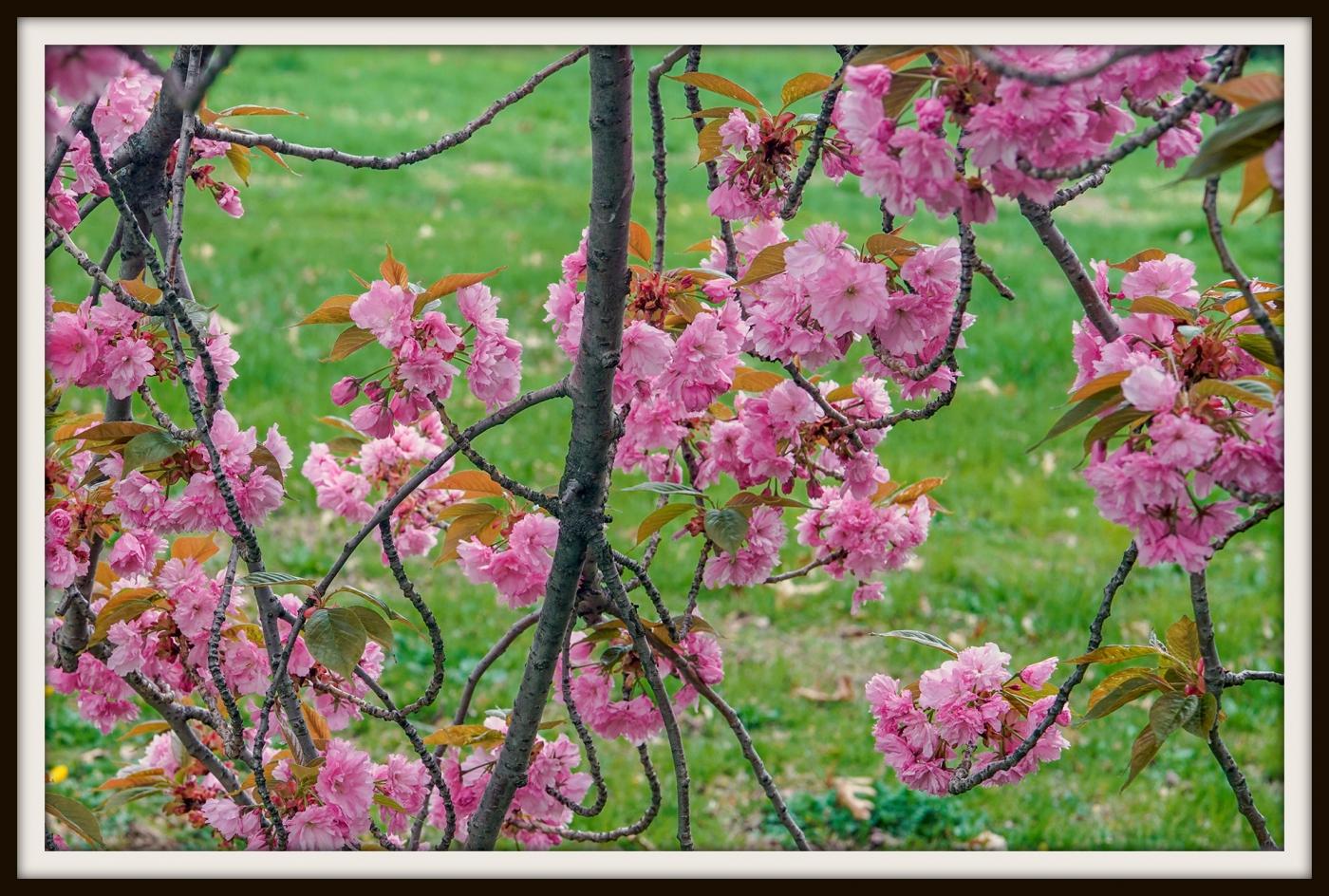 樱花盛开_图1-7