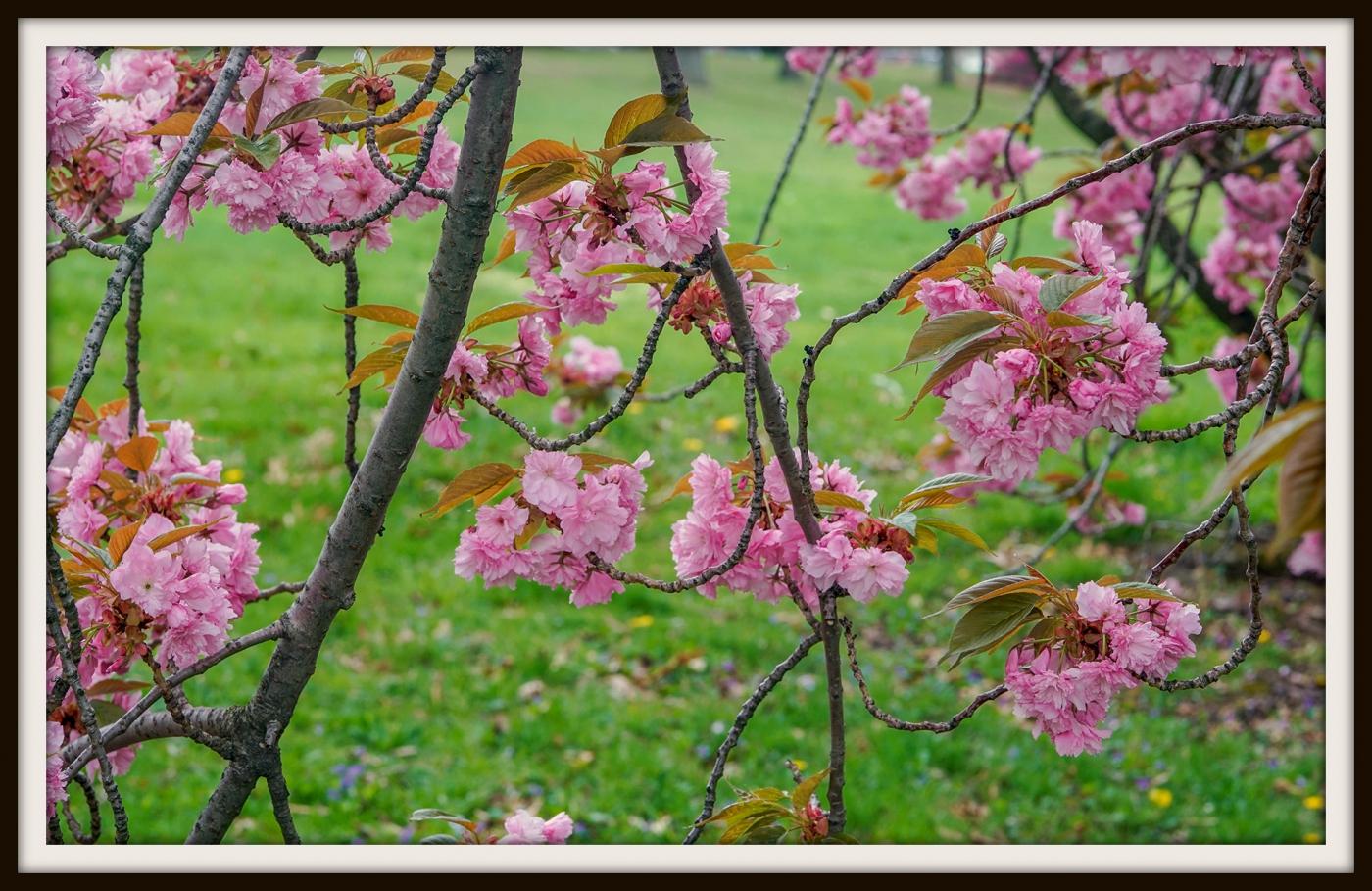 樱花盛开_图1-10