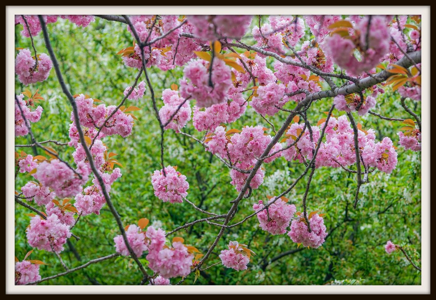 樱花盛开_图1-18