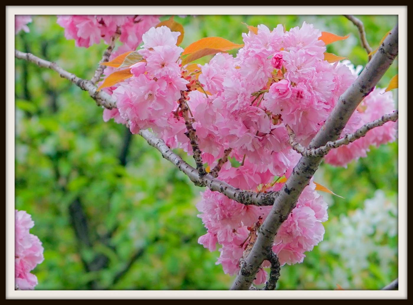 樱花盛开_图1-17