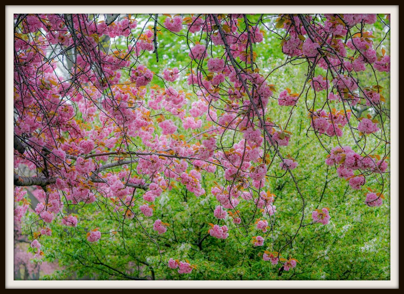 樱花盛开_图1-15