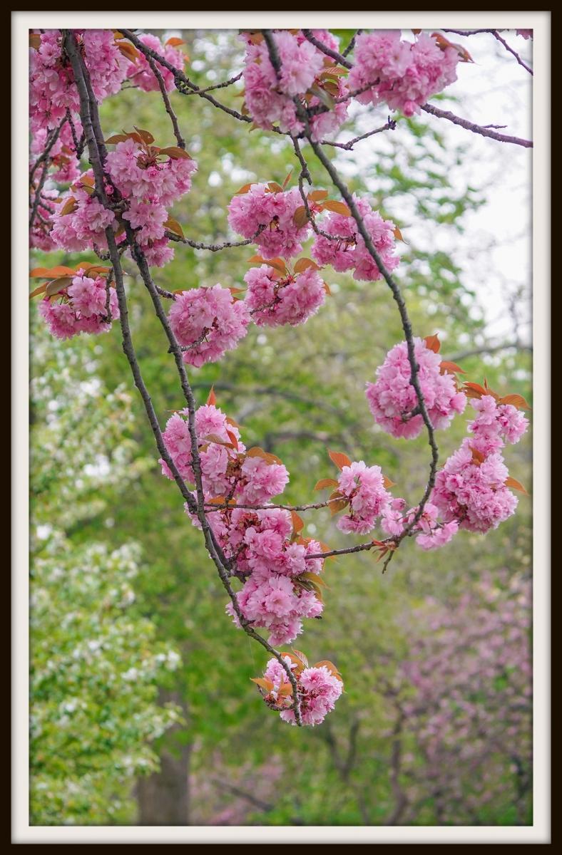 樱花盛开_图1-16