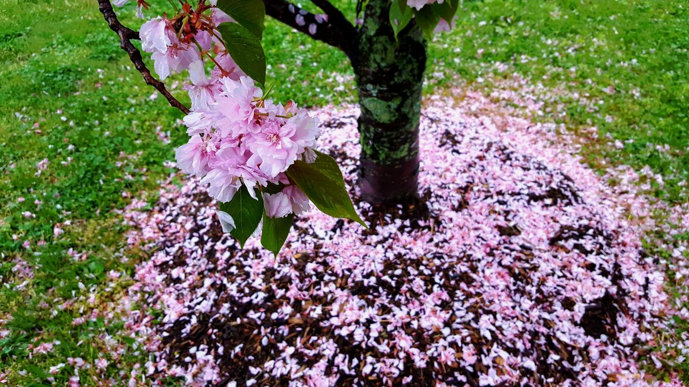 【田螺摄影】五月落樱如粉色的