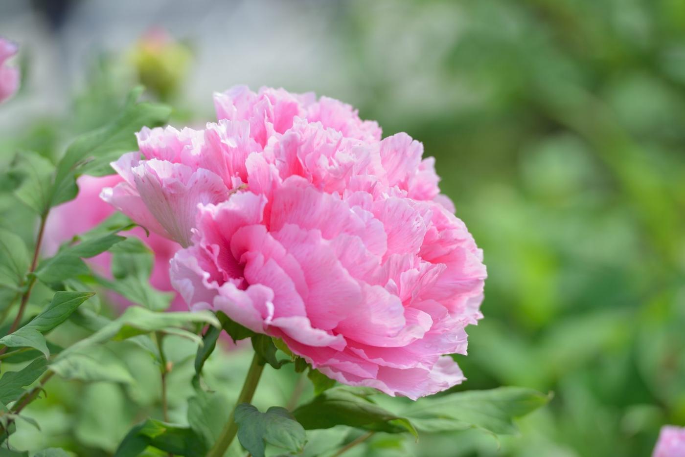 樱花节之生如夏花